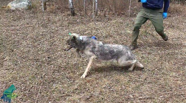 ATCTW041621.Wolf.1240.jpg