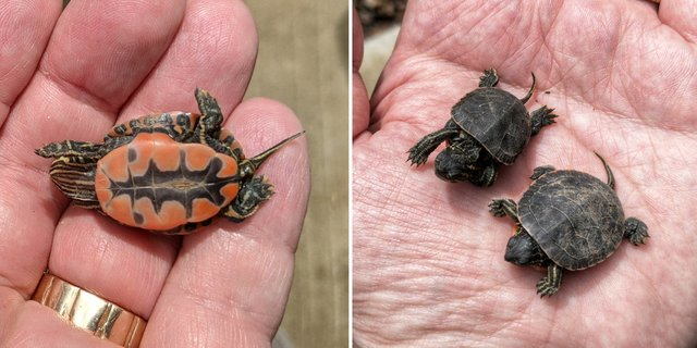 ATCTW052821.turtle2.1240.jpg