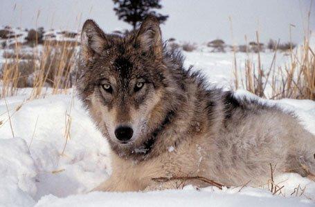 341wolf