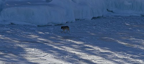 Isabelle, a lone Isle Royale wolf