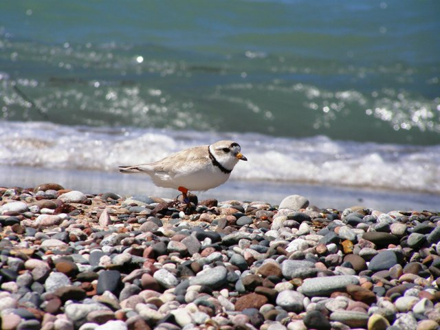 Come Over, Come Over, Piping Plover
