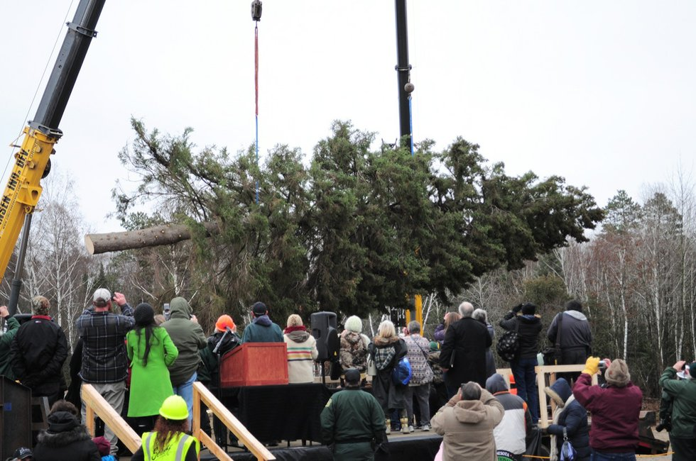 Harvested in Chippewa National Forest, Capitol Christmas Tree ...