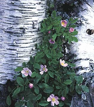 212birchflowers