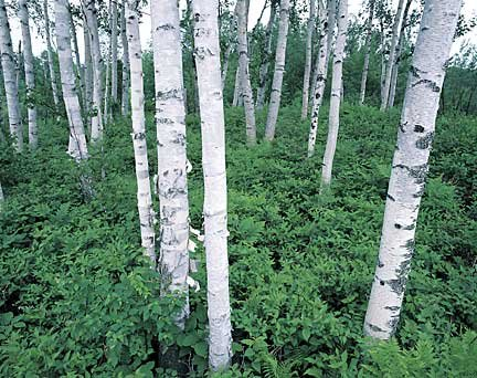 212birchtrees