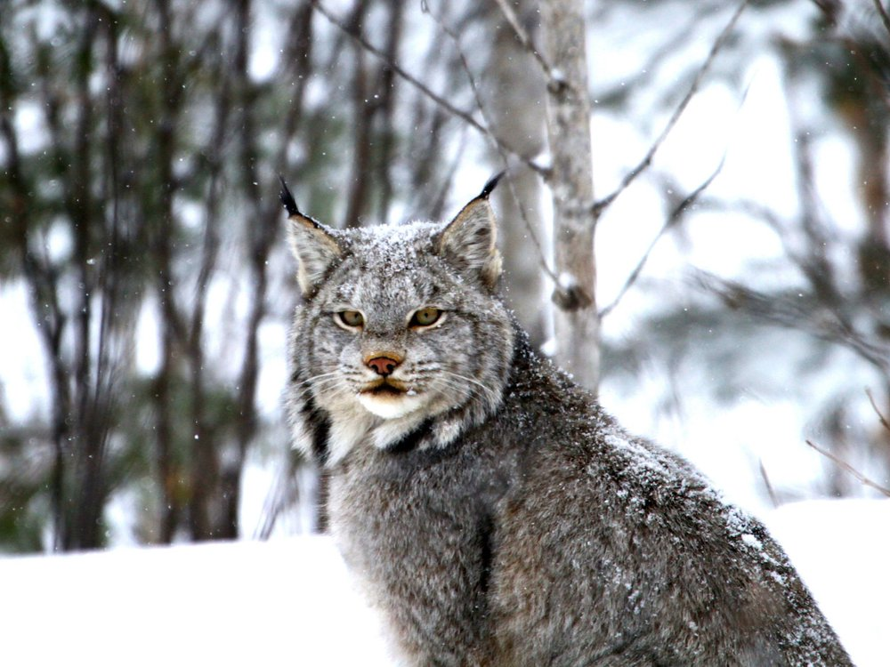 Clicking on the Lynx