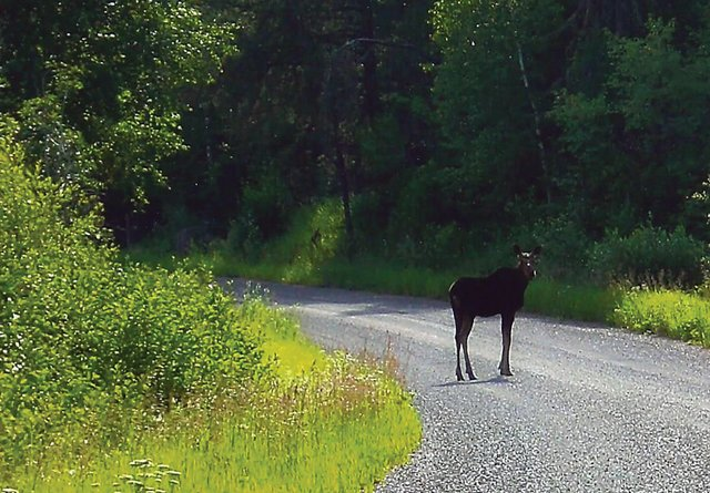 Lake Superior Journal: A Moose in the Rearview Mirror