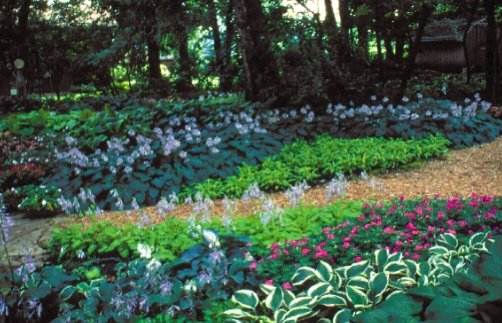 Planting hostas in drifts intermingled with annual bedding plants gives a dramatic effect. In medium shade, drifts of Hosta varieties bloom profusely.