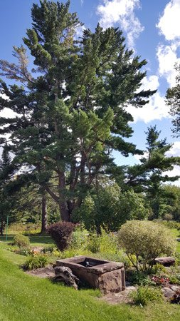 Pinehurst Inn - Large Pine Tree