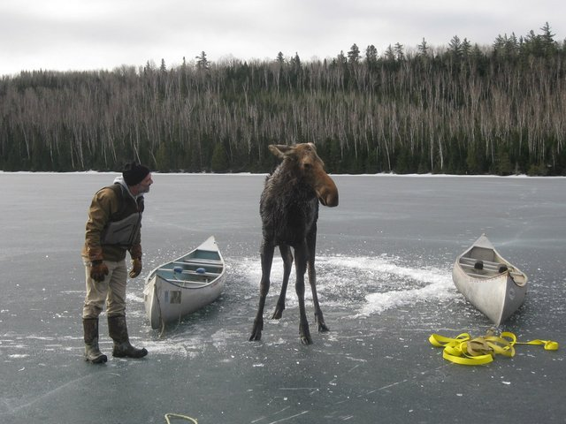 Moose Rescue on Hungry Jack Lake