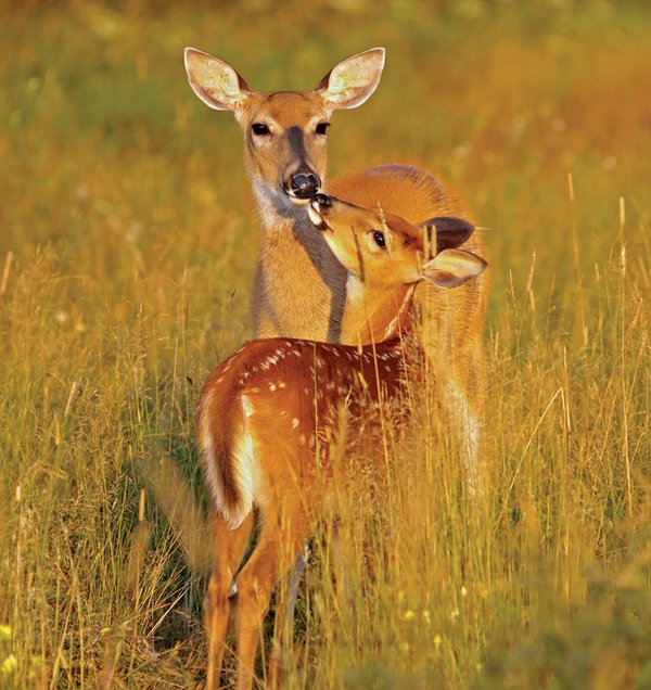 Oh, Deer: The Buck-Naked Truth about Our Local Cervids
