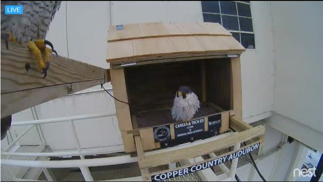 Peregrine Falcons Return to U.P. Bridges