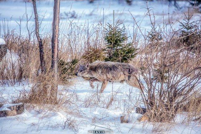 Wolf.011218.1240.jpg