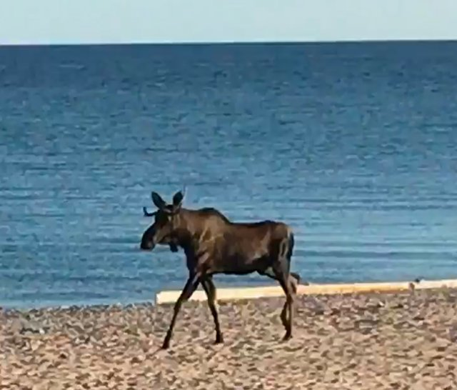 ATCTW091418.Bull-Moose.1240.jpg