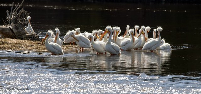 ATCTW042420.pelicans.1240.jpg